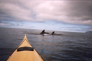 (Whales join a North River Kayak Tour)